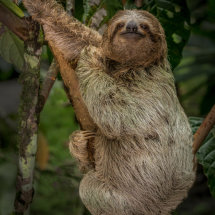 Young  Sloth