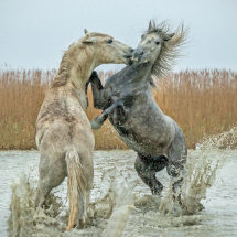 Young  Stallions Fighting