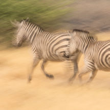 Zebra-Fleeing
