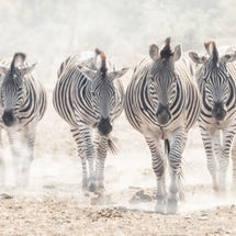 Zebras in the Dust High Key