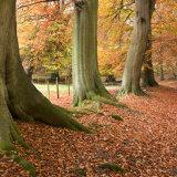 Tree Trunks Ashridge