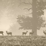 Ashridge Deer