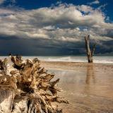 Dead trees 1, Covehithe beach
