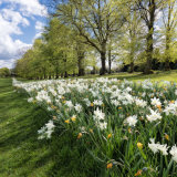 Avenue of Daffodils, Rothamsted Park