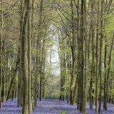 Bluebells in Dockey Wood 2, Ashridge