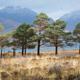 Pine Trees, Loch Torridon