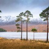 Pine Trees, Loch Claire, Torridon