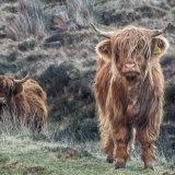 Highland Cattle, Applecross Peninsula