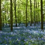 Bluebells in Dockey Wood, Ashridge