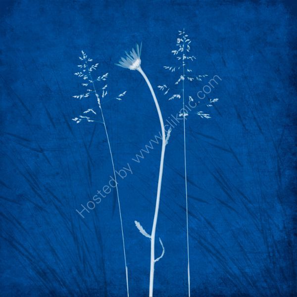 Wild Flowers 3 on a cyanotype background