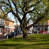 The Horse Chestnut  Tree, Harpenden