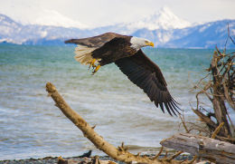 Alaska Bald Headed Eagle