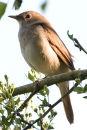 Nightingale #2