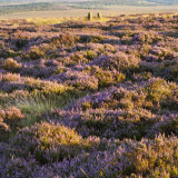 The Scent of Heather