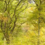 The Great  Wood, Derwentwater