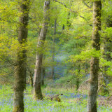 The Bluebells at Inchcailloch