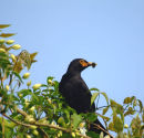 Blackbird with food for young.