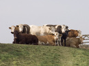 Prime Cattle on Hill