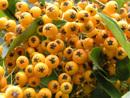 Orange Berries Autumn