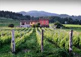 Vineyard, Lucca