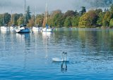 swans on lake windermere