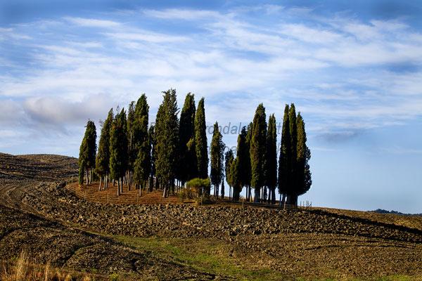 Cypress Trees & Furrows