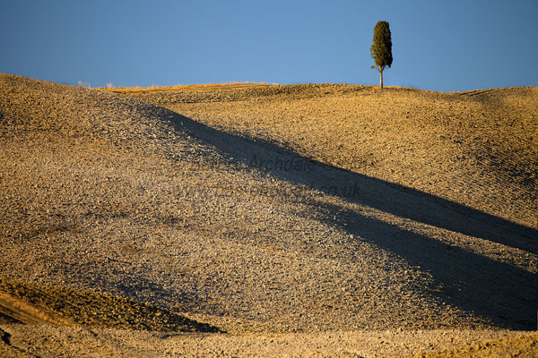 Cypress Tree On Ploughed Hilltop