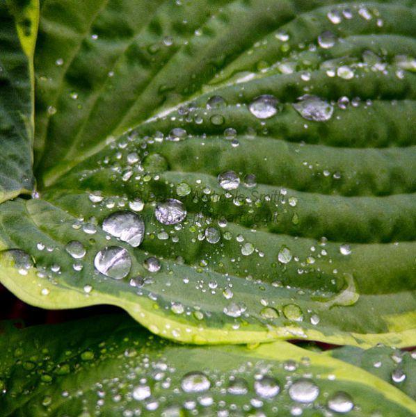 Hosta & Raindrops