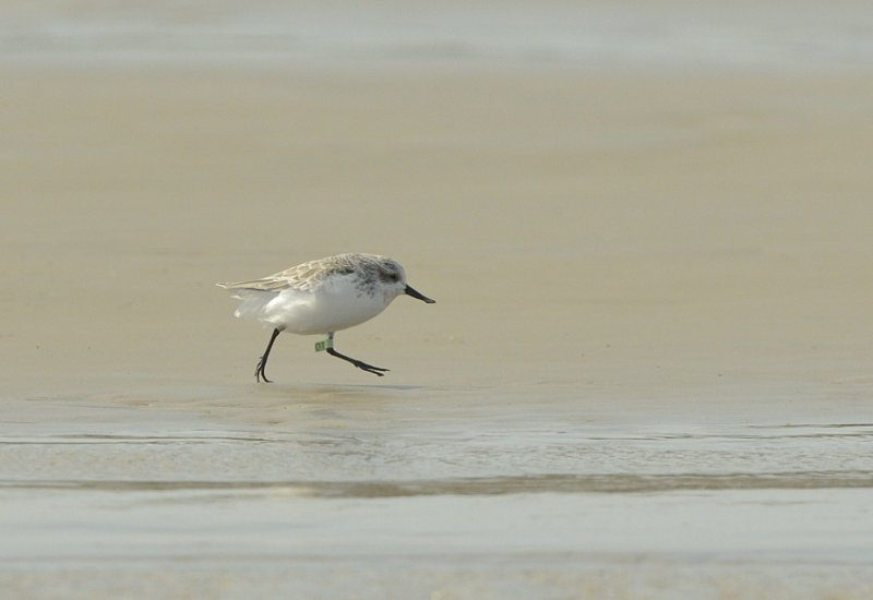 Spoon-billed Sandpiper the famous 01 in Rudong Oct 2014