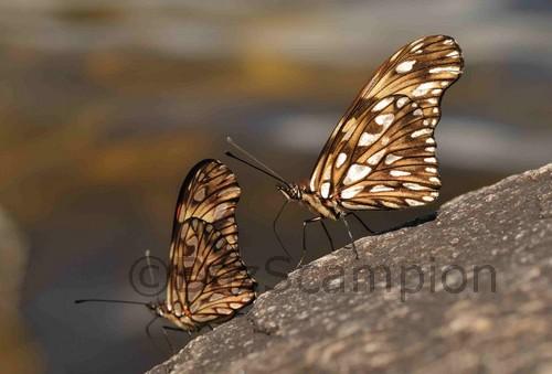 Juno Butterflies. Dione juno