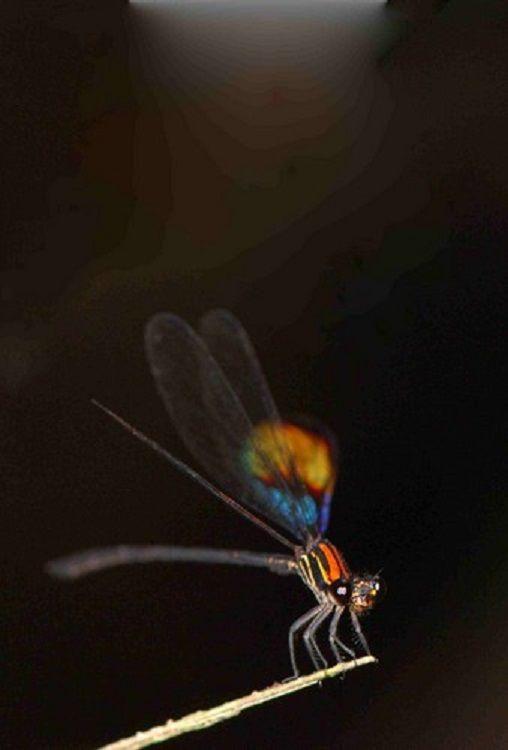 Chalcopteryx rutilans Glitterwing Brazil Baz