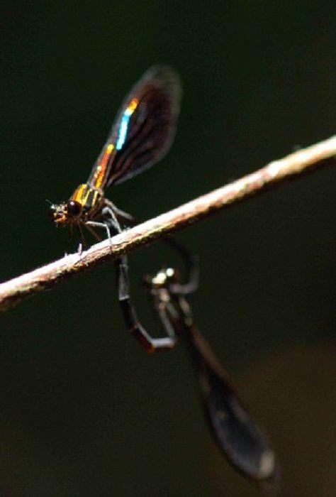 Chalcopteryx rutilans Brazil
