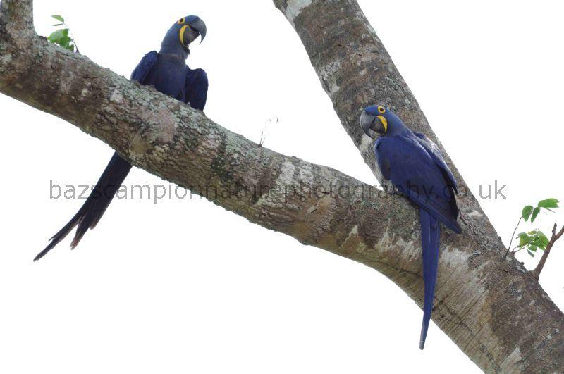 Hyacyinth Macaws