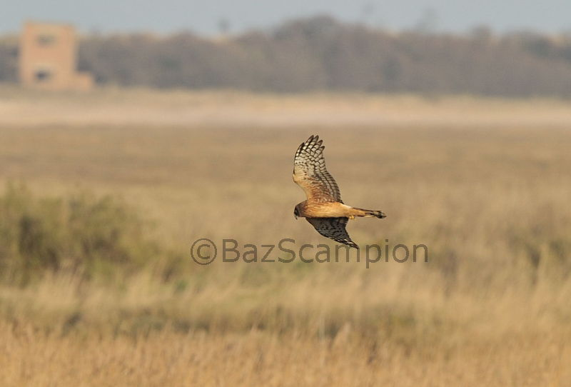 Juvenile Northern Harrier.Thornham