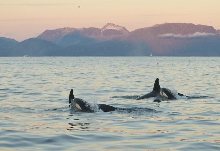 Orca calves Norway Baz Scampion