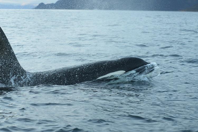 Orca Norway Baz Scampion