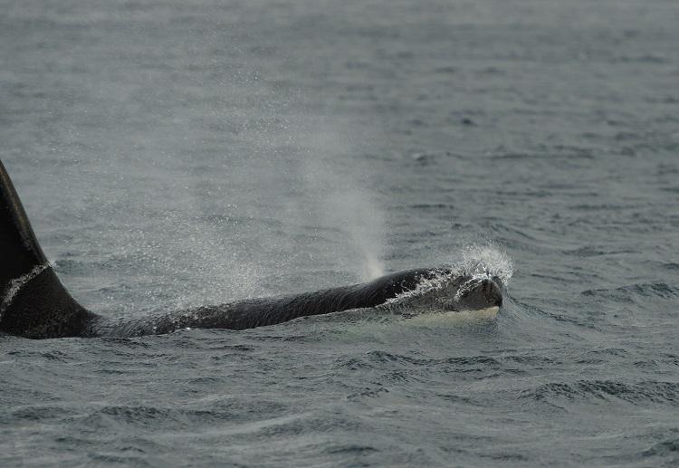 Orca Norway November Baz Scampion