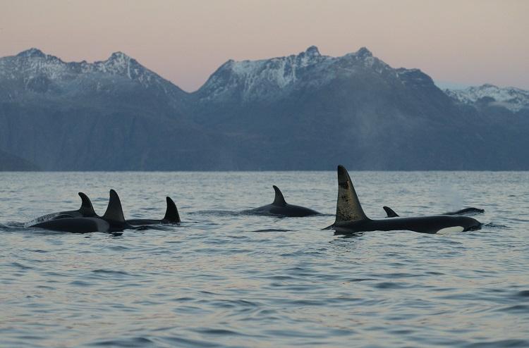 Orca pod Norway Baz Scampion