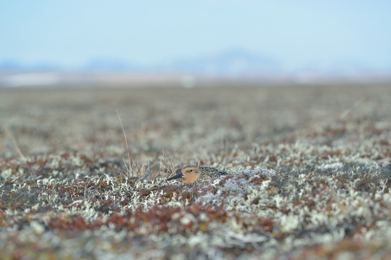 Red Knot on Nest1