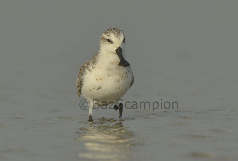 Adult Spoon-billed Sandpiper