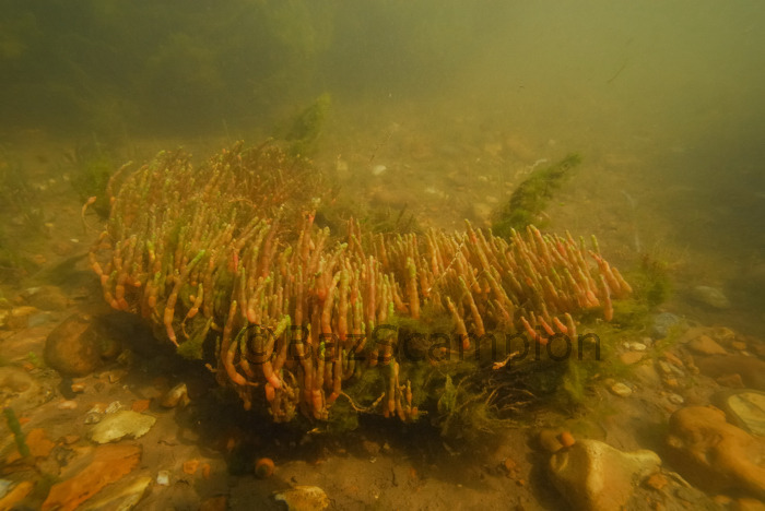 Perennial Glasswort. Sarcacornia perennis.