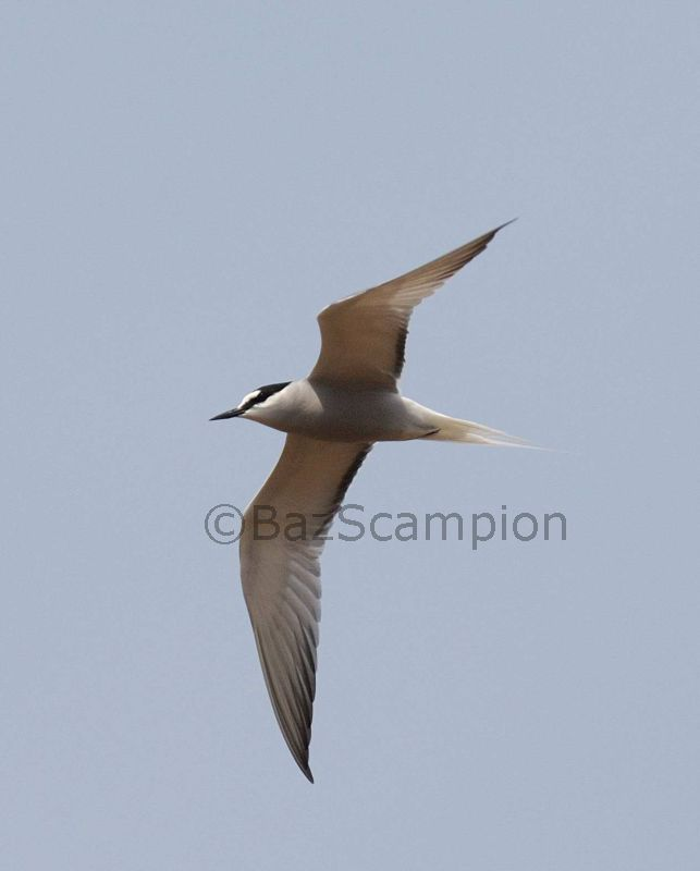 Adult summer Aleutian Tern