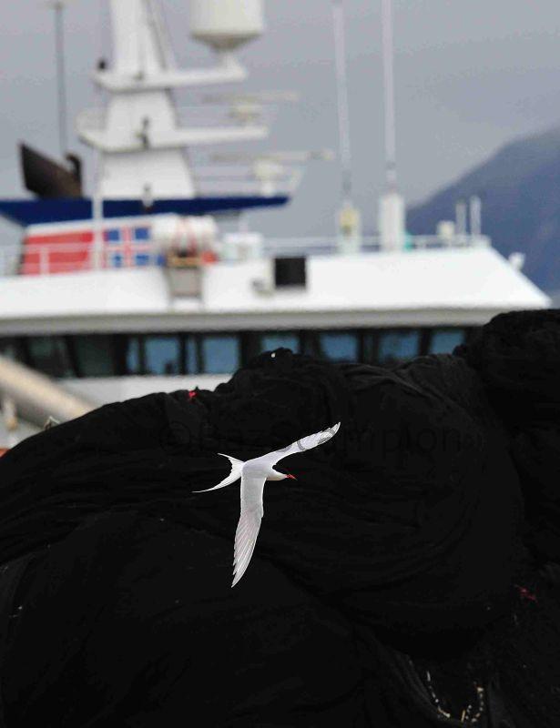 Arctic Tern and trawler