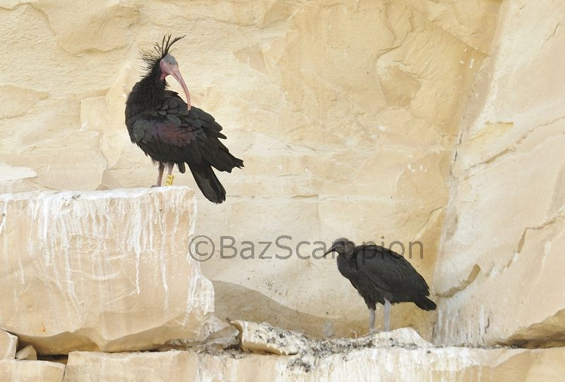 Northern Bald Ibis at nest with chick