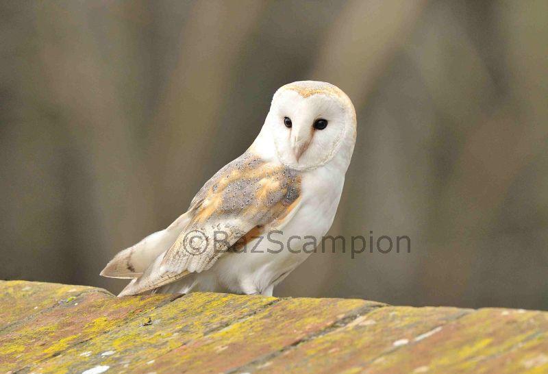 Barn Owl on Holkham Wall