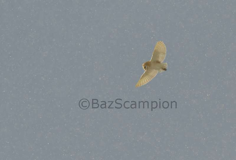 Barn Owl hunting in the snow