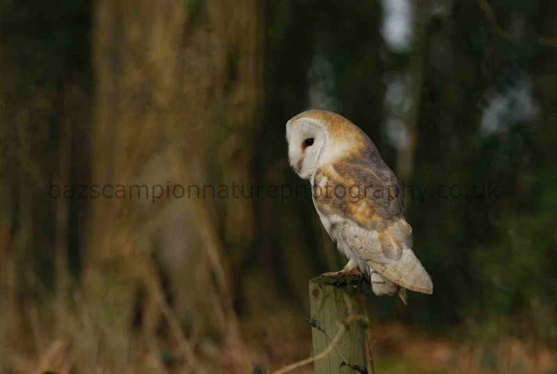 Barn Owl. Holkham.Norfolk