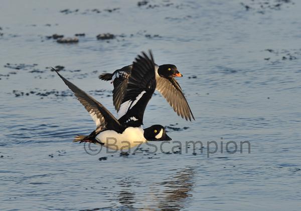Pair of Barrows Goldeneye in flight