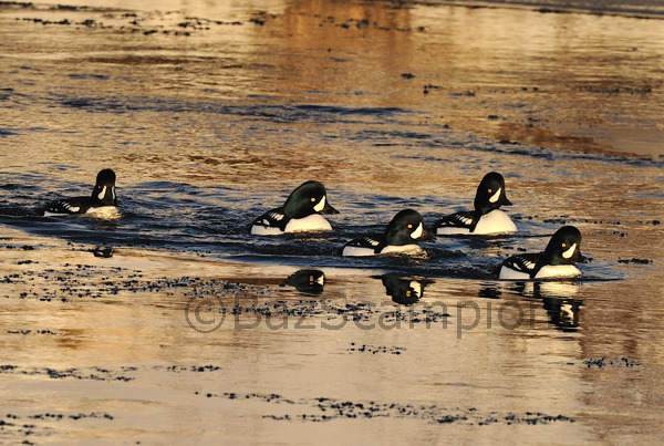 Barrows Goldeneye. River Laxa. Myvatn. Iceland