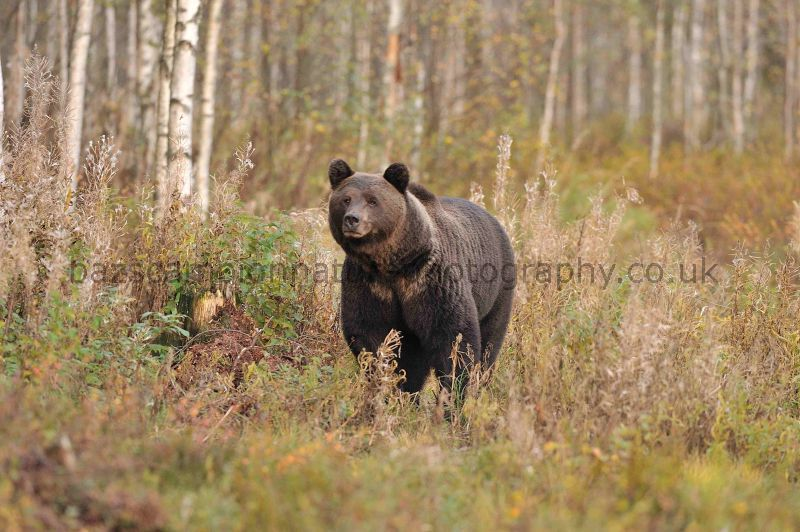 Male Brown Bear in Taiga Forest.